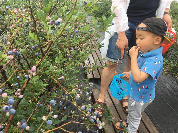 NYC纽约国际上海仲盛中心:缤纷水果采摘之采蓝莓活动回顾