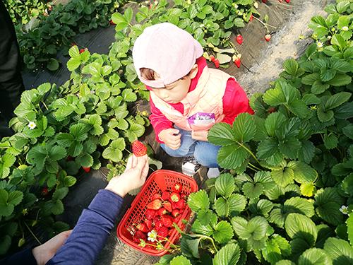 NYC纽约国际天津早教中心:NYC踏春游行 - 草莓采摘节活动回顾
