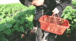 NYC纽约国际山东潍坊早教中心:Pongo的采摘季活动预告